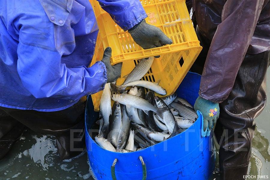 在魚塘捕撈上來的烏頭,鱗片整齊。(陳仲明/大紀元)