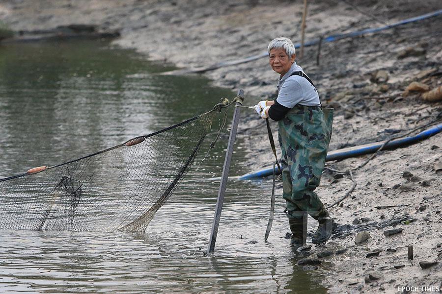 年近古稀的漁民馮香蘭下水「刮魚」。(陳仲明/大紀元)