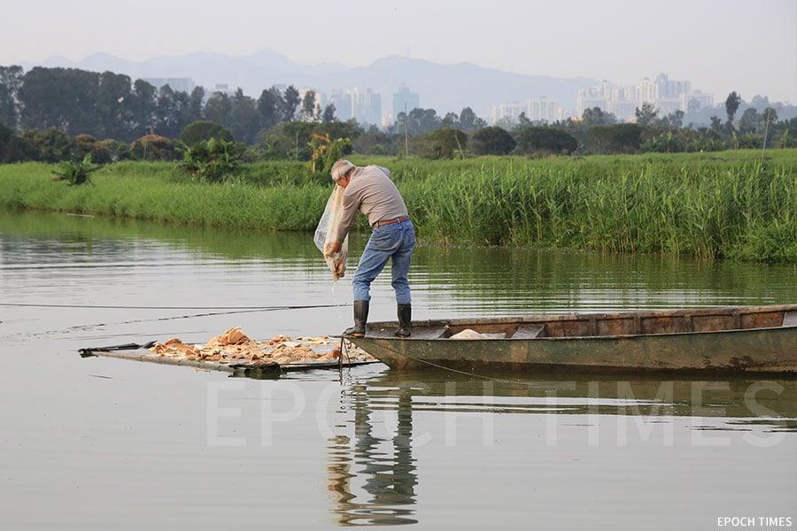 漁民以麵包餵飼塘魚。(陳仲明/大紀元)