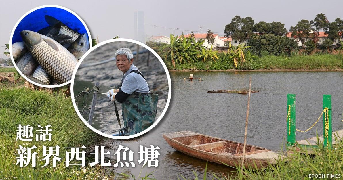 元朗一帶的魚塘養殖業自上世紀二十年代開始興起,不少鹹水稻田轉型為魚塘。(設計圖片)