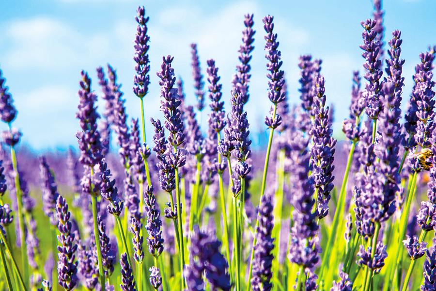 薰衣草盛放 夏姿綽約 法國普羅旺斯風景如畫