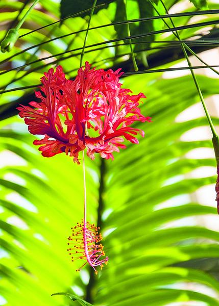 【浮生行吟】貶入凡間的仙子 吊燈花的傳說