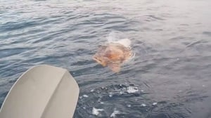 橙色海龜海上求救 好心人幫牠清理身上漁網