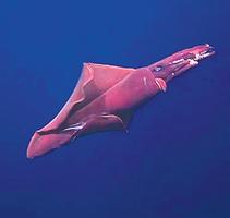 夏威夷發現極罕見可發光深海魷魚 身長2米