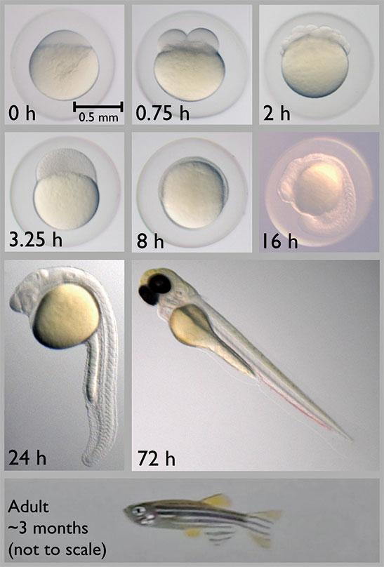 發育中的斑馬魚受精卵。(維基百科)