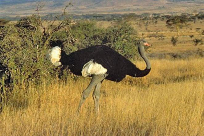 史前巨鳥為現存鴕鳥的三倍大,和北極熊重量類似。圖為索馬里鴕鳥。(維基百科)