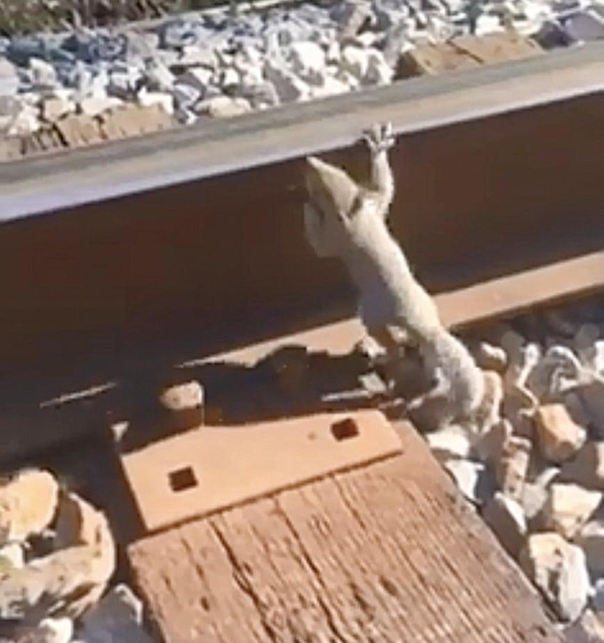 松鼠寶寶受困鐵軌 跳上路人小腿脫險
