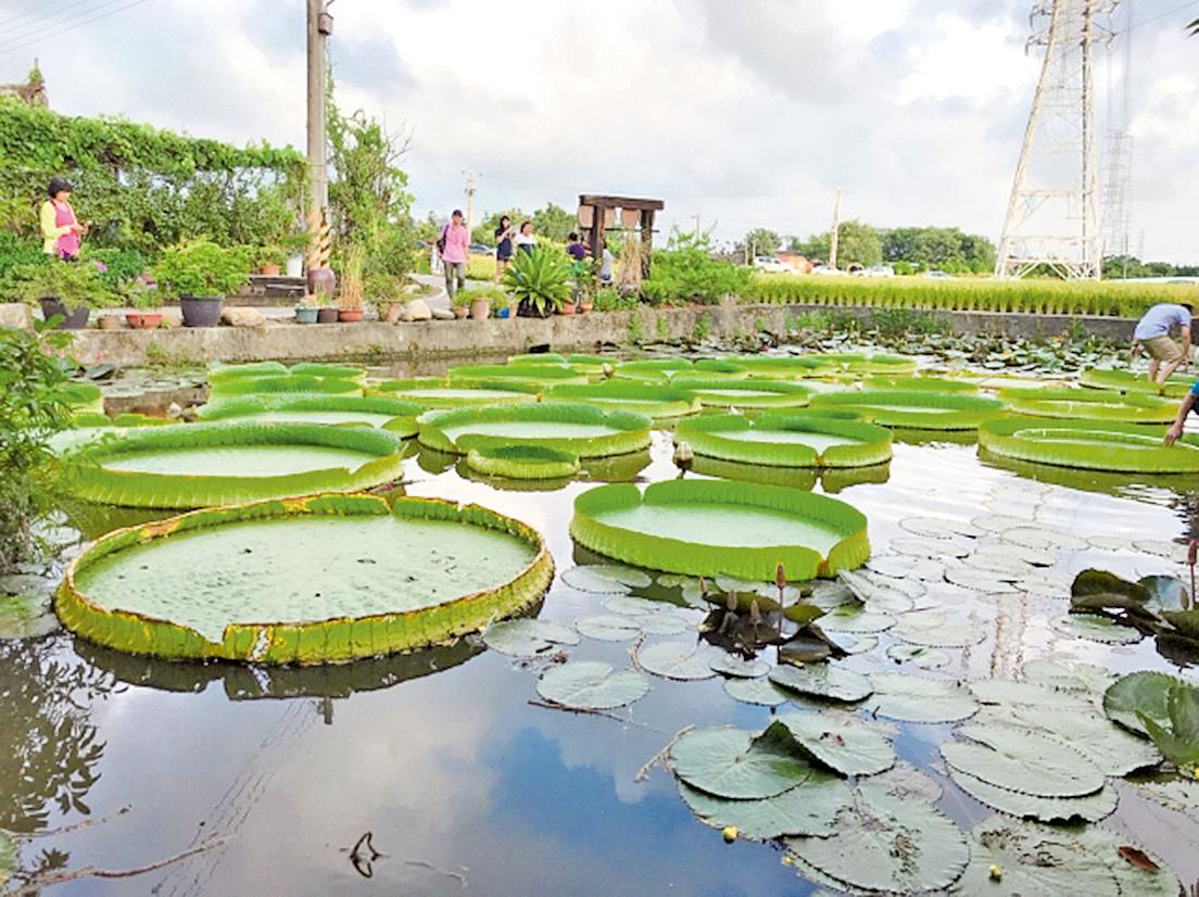 大王蓮池塘