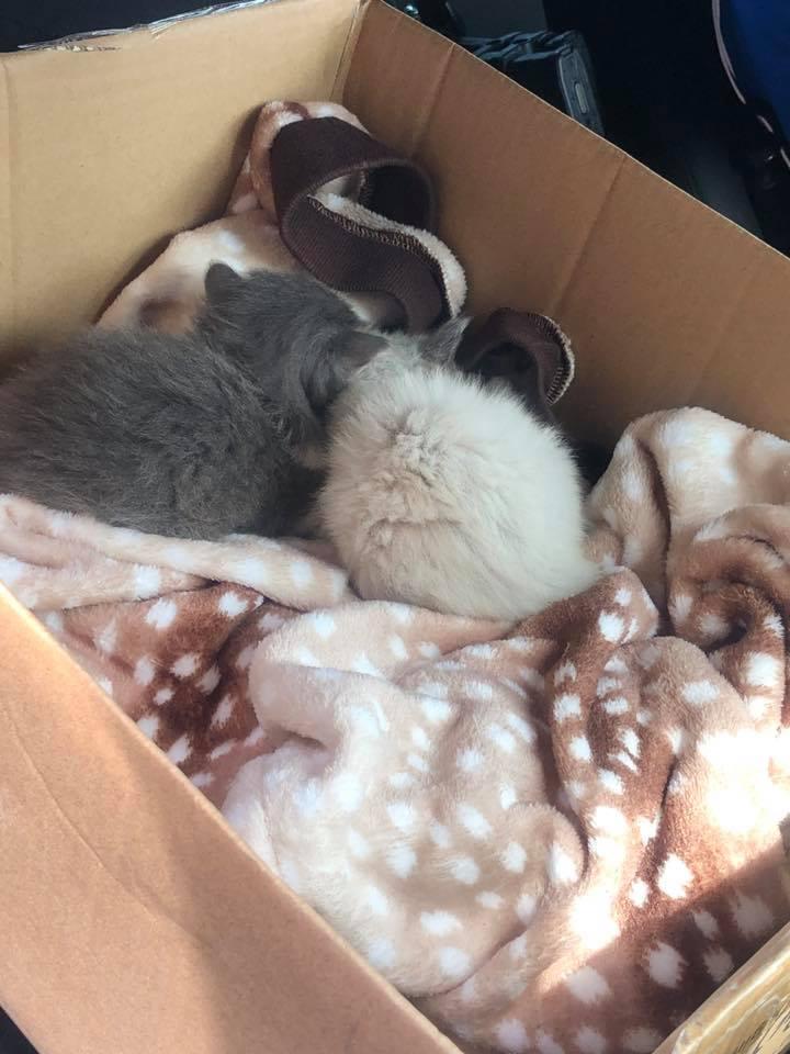 經過獸醫診斷,兩隻猶如棉花團的小奶貓約六周大,健康狀況良好,模樣相當可愛。(Courtesy of Arlington Police Department)