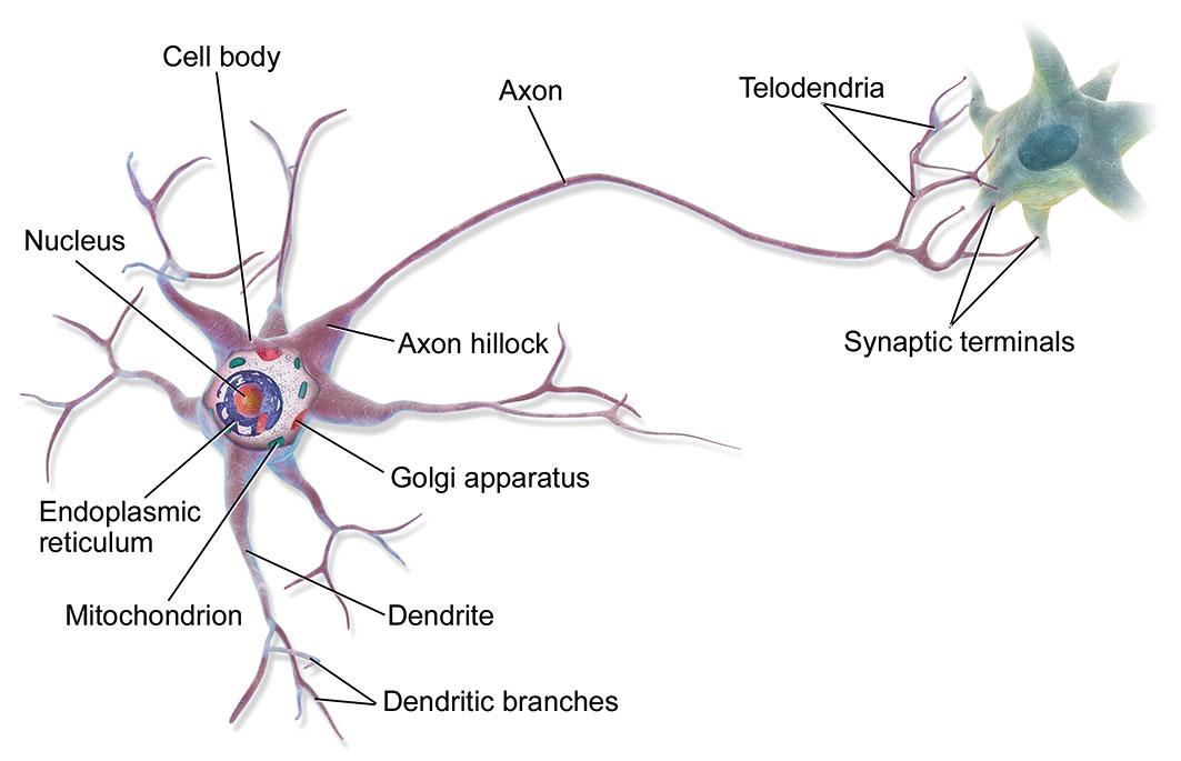 神經元的軸突示意圖。(維基百科)