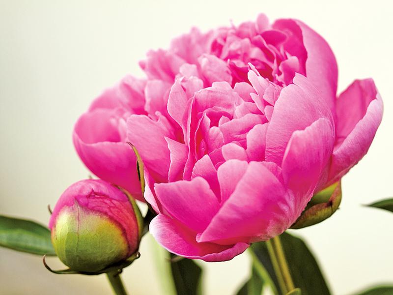花王牡丹被貶洛陽傳說
