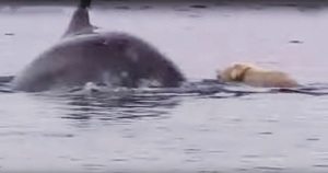拉布拉多狗和海豚做朋友 海陸奇緣不可思議