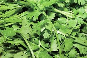 研究:香菜有抗痙攣抗癌抗菌諸多功效
