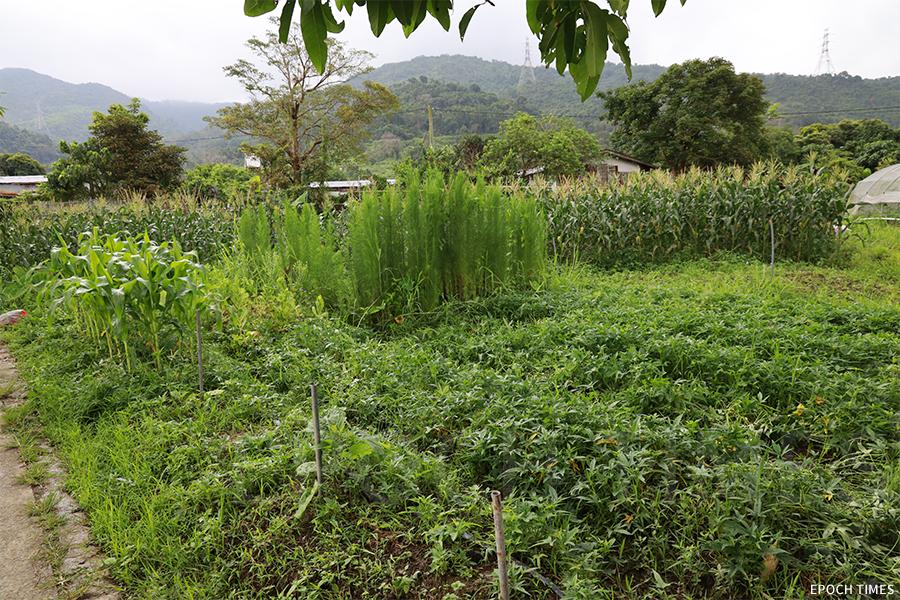 農莊佔地二十五萬呎,種有四、五十種作物。(陳仲明/大紀元)