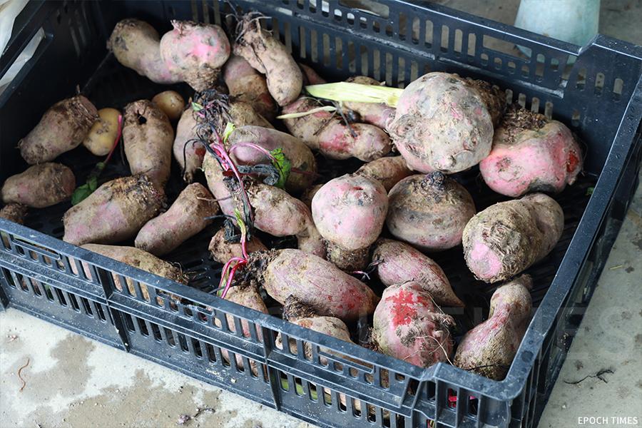 我地農莊生產的有機菜。(陳仲明/大紀元)