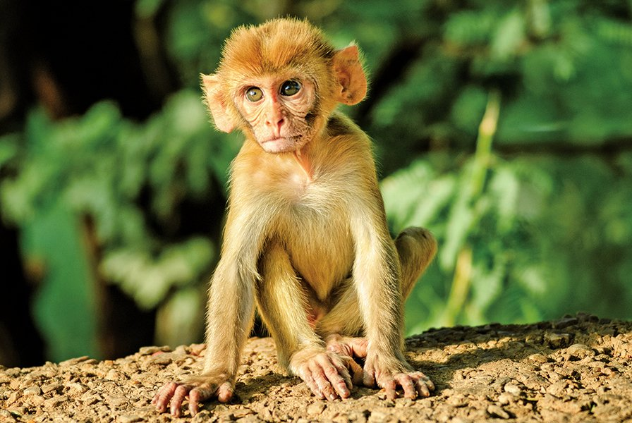 秘魯發現遠古猴子新品種只有倉鼠大