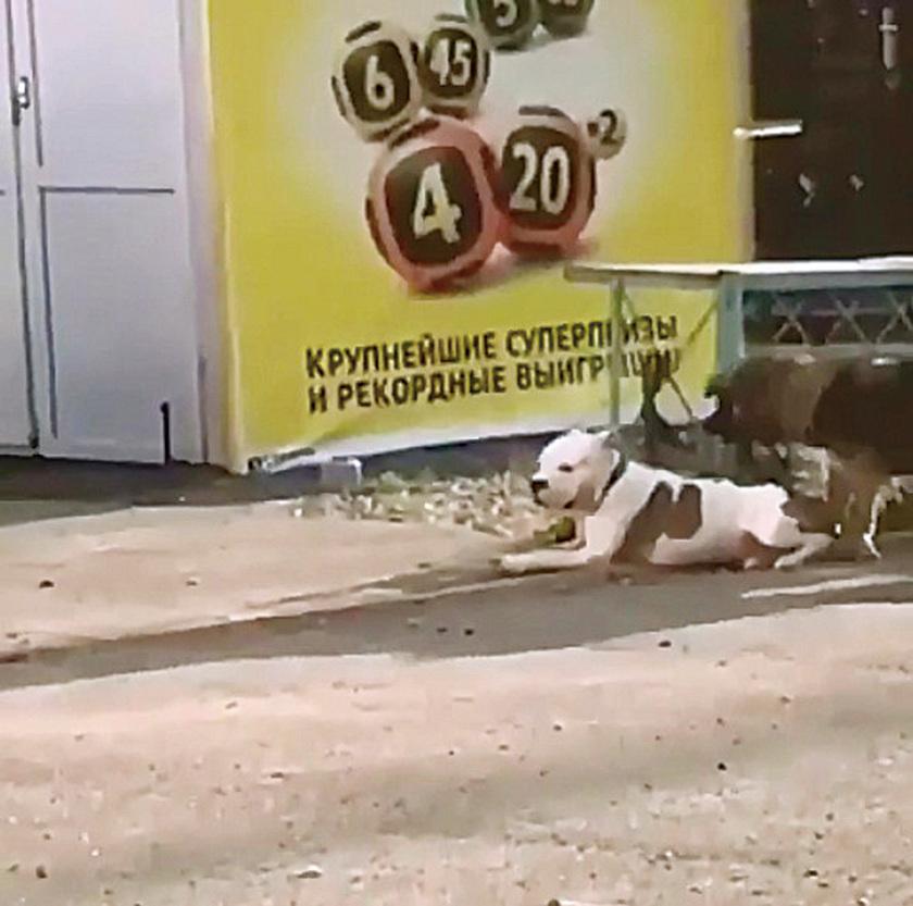 黑色流浪犬嘗試不同角度咬斷綁住白色鬥牛犬的狗繩。(natasha_nvrs Instragram)