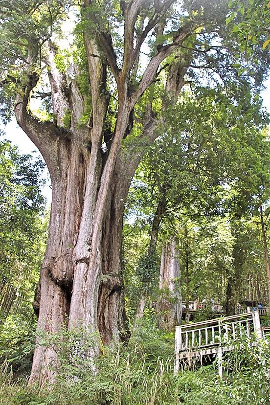 最年長的孔子神木約2,560年。