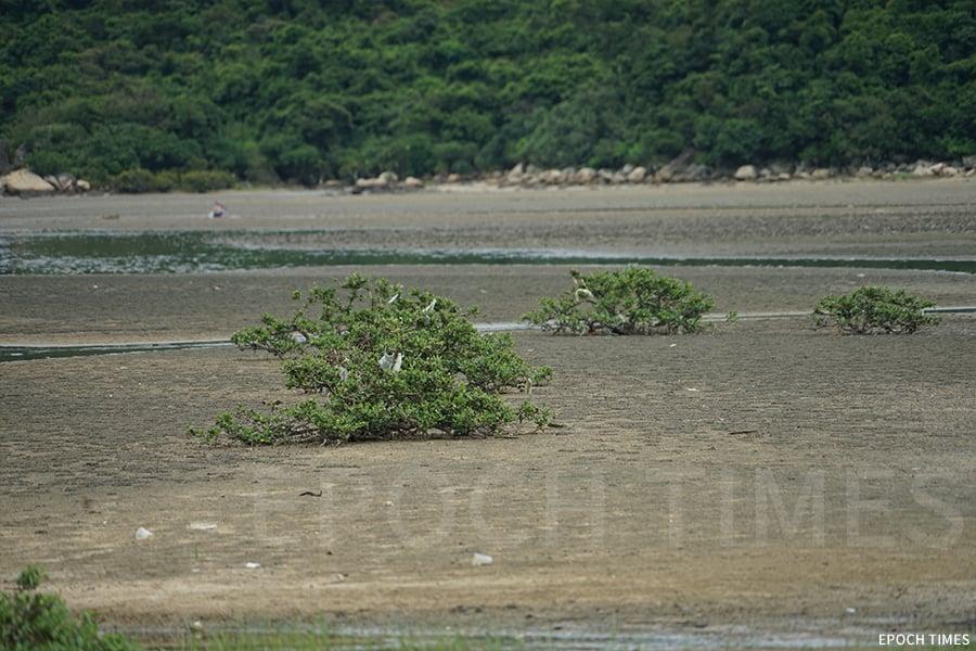 在水口灣邊的紅樹林,有膠袋被風吹來掛在樹上。(曾蓮/大紀元)