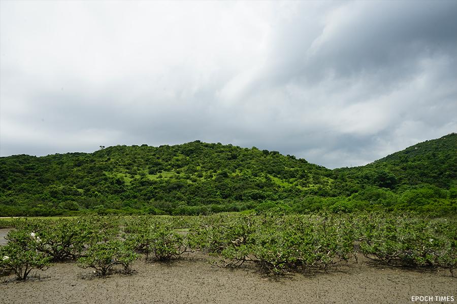 水口灣擁有多種海岸生境,圖為紅樹林。(曾蓮/大紀元)