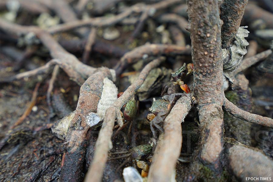 水口灣孕育許多不同的物種,紅樹下常常能找到招潮蟹。(曾蓮/大紀元)