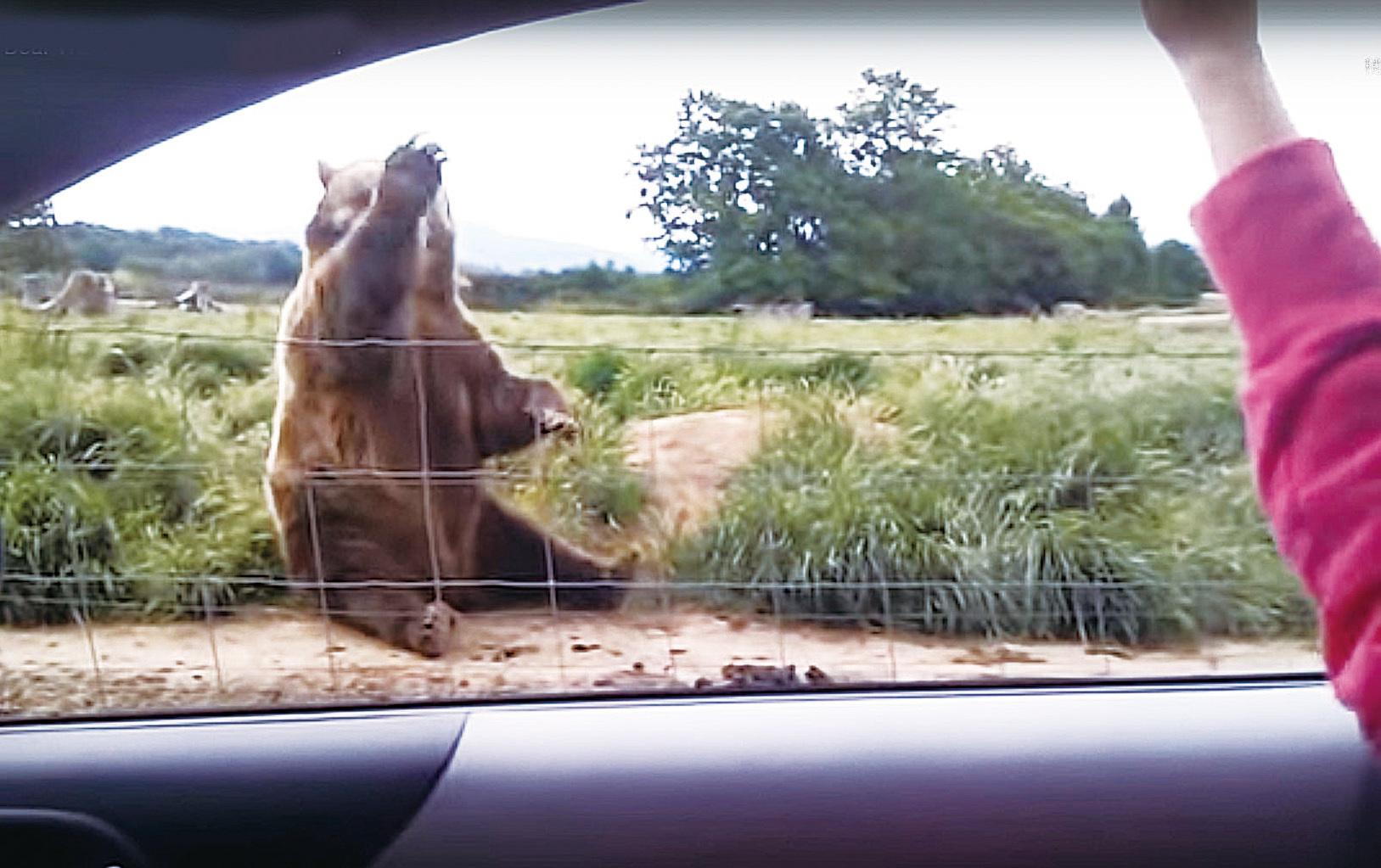 有人駕車經過,和棕熊招手,這隻大棕熊就會禮貌地揮手。(短片截圖)