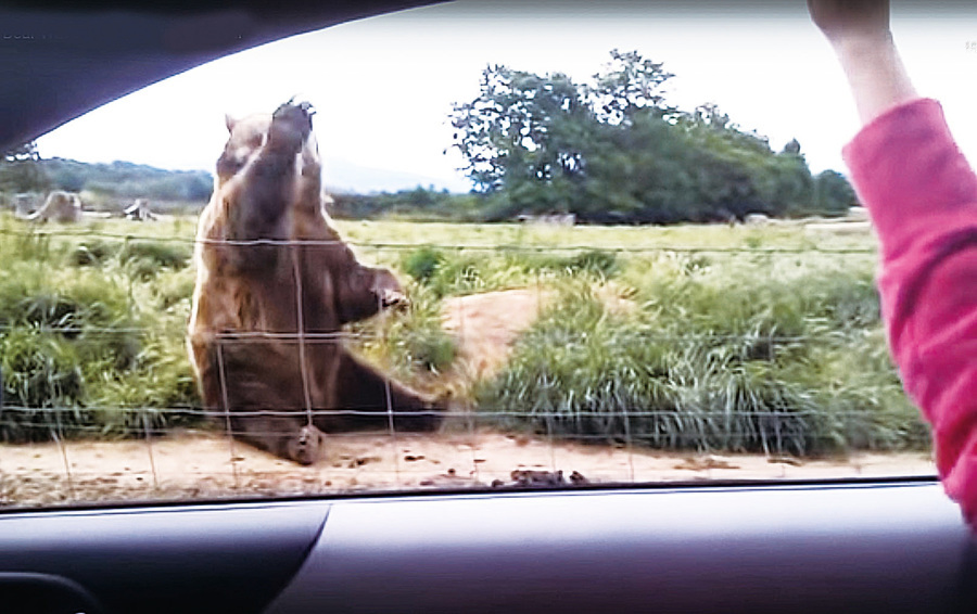 遊客在車裏向大棕熊揮手 牠禮貌回應被網友讚爆
