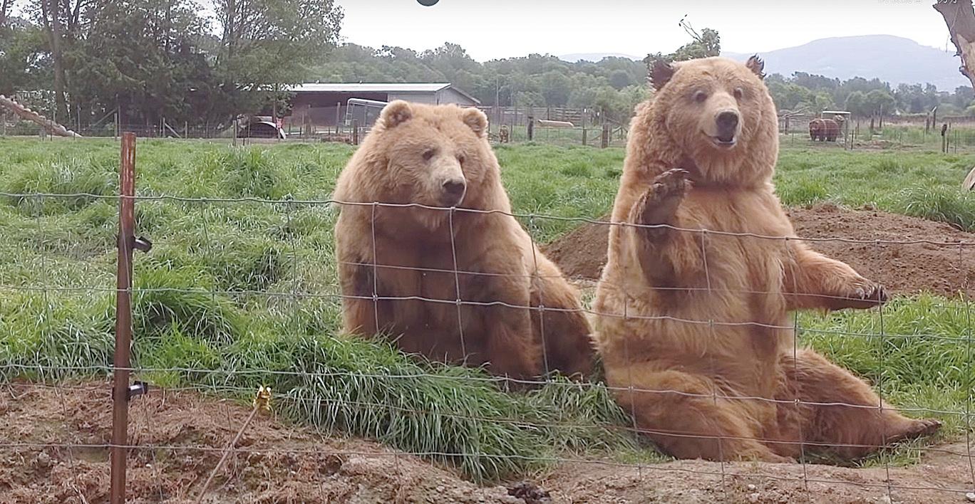 棕熊禮貌地和路過的人揮手。(短片截圖)
