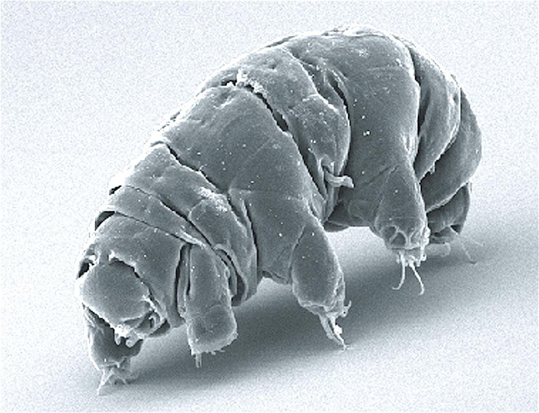 具有頑強生命力的水熊蟲。(維基百科)
