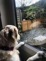 金毛喜歡鄰居狗狗 劇情如迪士尼動畫