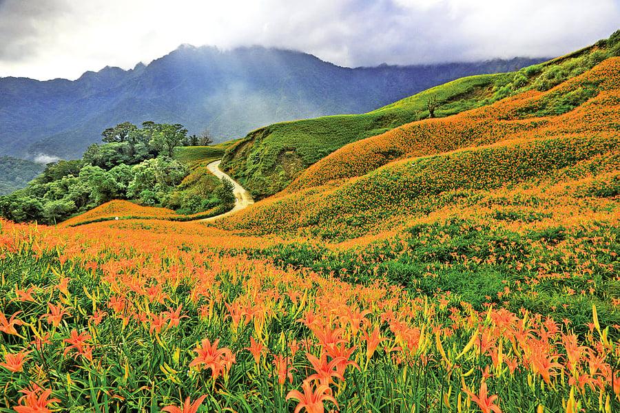 天使的黃地毯——花東縱谷金針花海