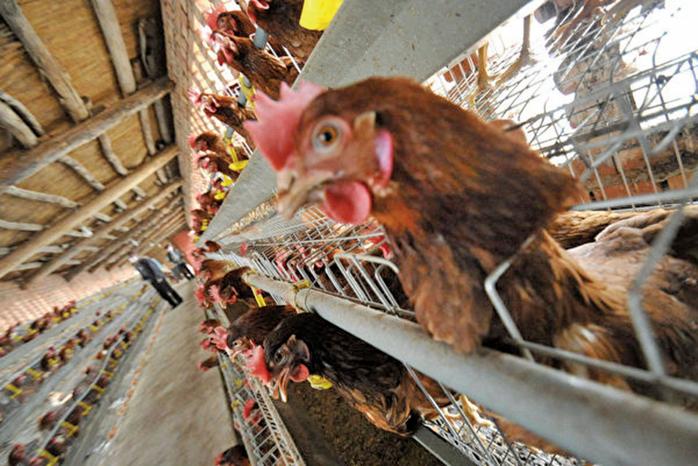 北京一名59歲女子感染甲型禽流感H5N6,現時病情危重。(Getty Images)