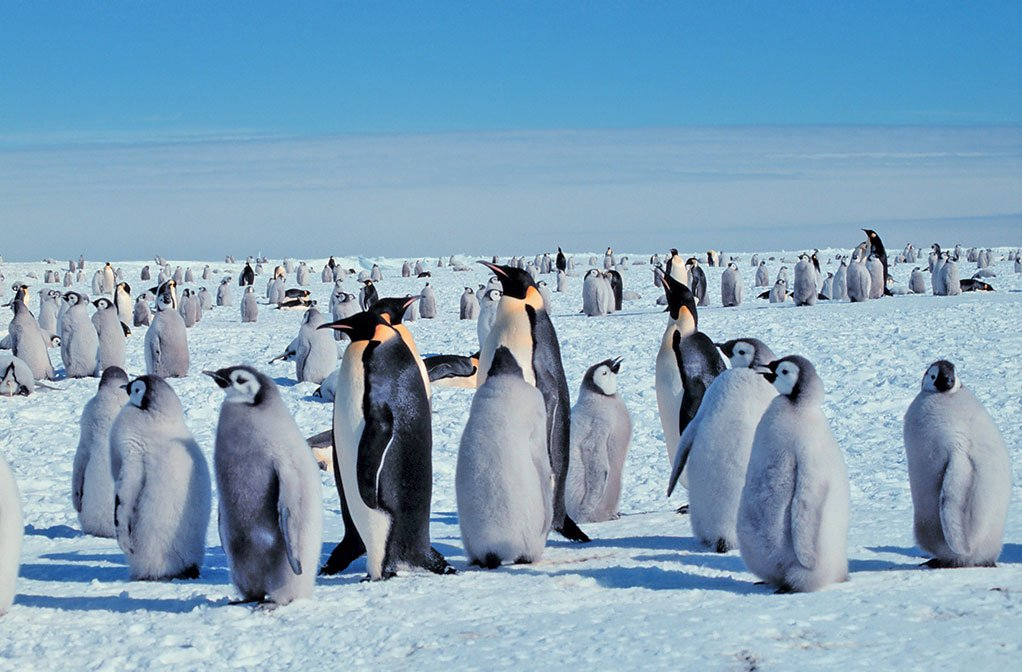 新發現的史前巨型企鵝是現代帝企鵝(如圖)的四倍重。(維基百科)
