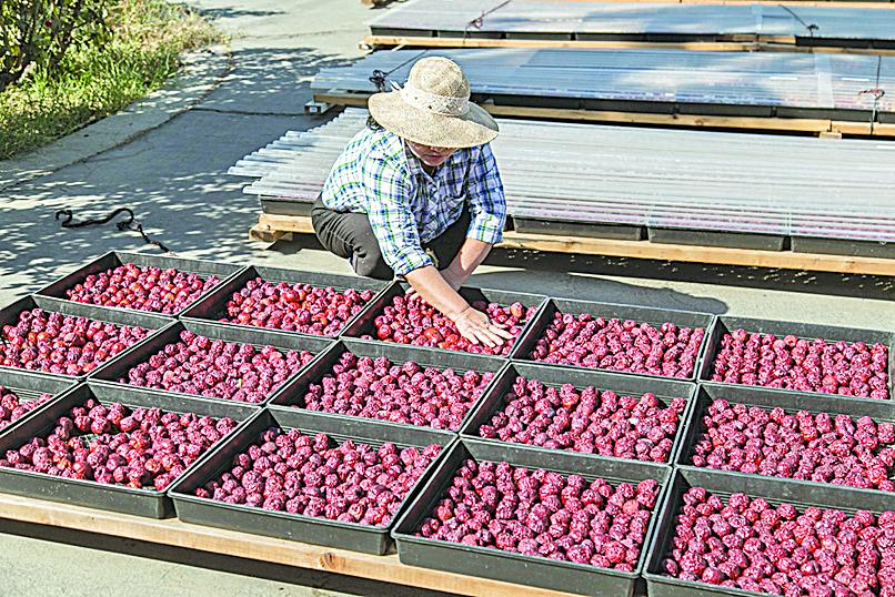 在有機棗園中,工作人員正在曬乾紅棗。