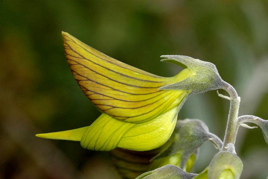 這種野百合像極蜂鳥,因此又得名青鳥花。(D. Blumer/Botanic Gardens and Parks Authority, WA)
