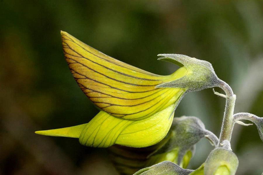 小花像極蜂鳥 吸引授粉? 網友:美麗巧合