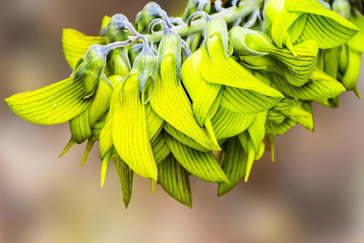 青鳥花——像極蜂鳥的野百合(豬屎豆)。(imagevixen/shutterstock)