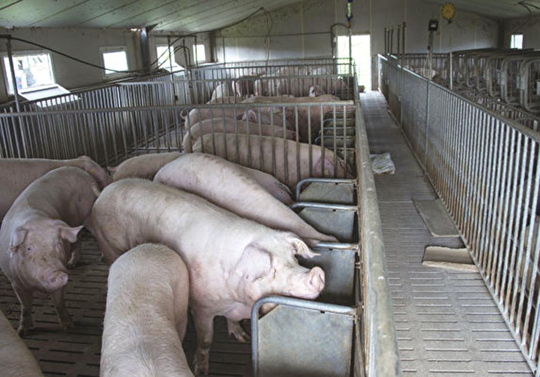 受到非洲豬瘟疫情的影響,養殖場被迫關閉,市場無豬可養、無豬可賣、全國豬肉告急,豬肉價格飆漲。圖為示意照。(AFP)