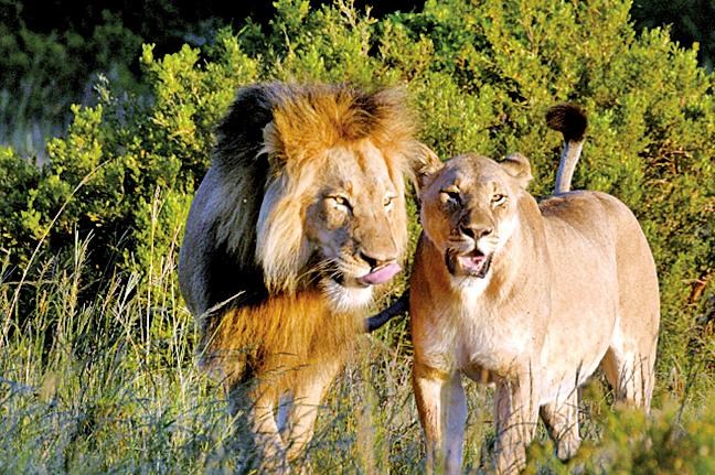 位於南非的阿瑪卡拉保護區,會將動物重新野放回原生地。