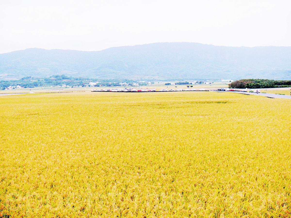 稻田一望無際,秋收季節就像鋪上一層金黃地毯(龍芳/大紀元)