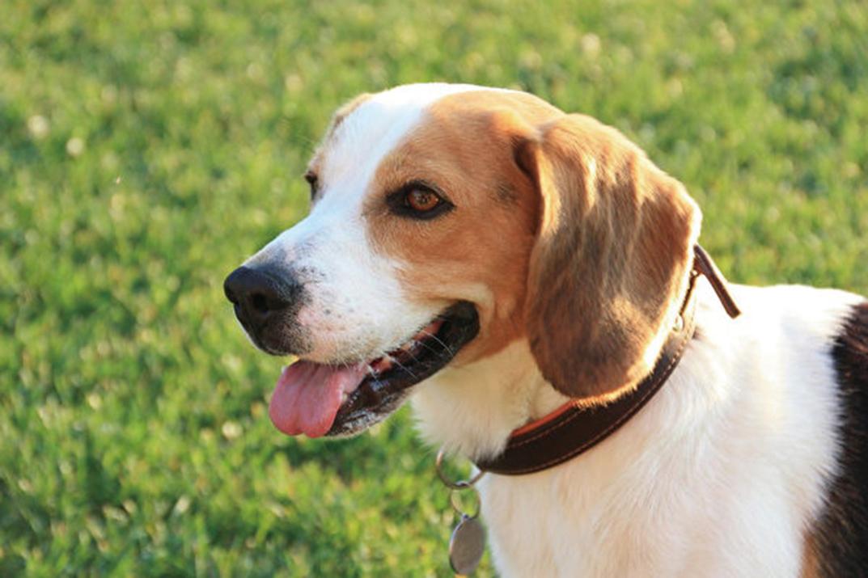 研究發現,狗能嗅出肺癌、大腸癌等癌症,而且準確率相當高。(Pixabay)