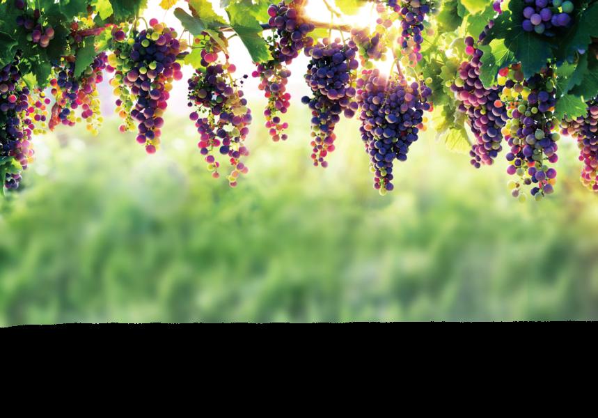 葡萄顏色不同功效各異 黑抗疲勞 紅抗老