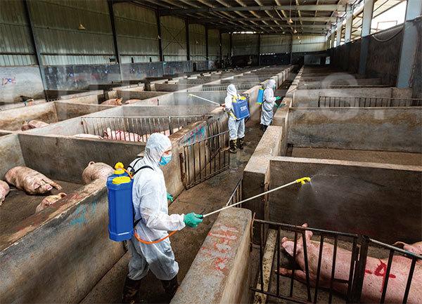洲豬瘟全面攻陷中國大陸後,陸續蔓延到東亞各國。(大紀元資料庫)