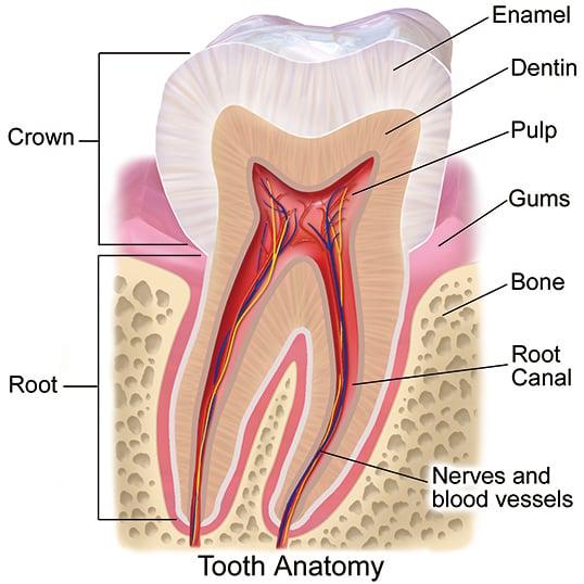 人類牙齒結構示意圖,最上層的為牙釉質。(維基百科)