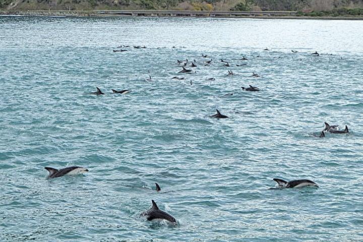 紐西蘭南島海港凱庫拉賞鯨。(Pseudopanax/維基百科)