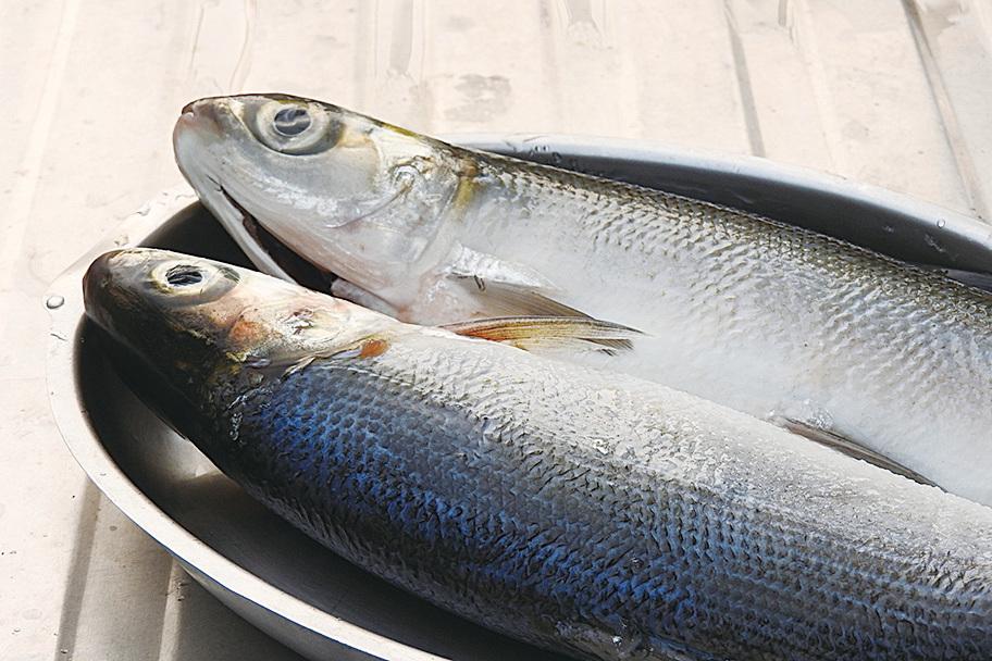 虱目魚含豐富的蛋白質、好脂肪等養份,而且全身是寶。(Shutterstock)