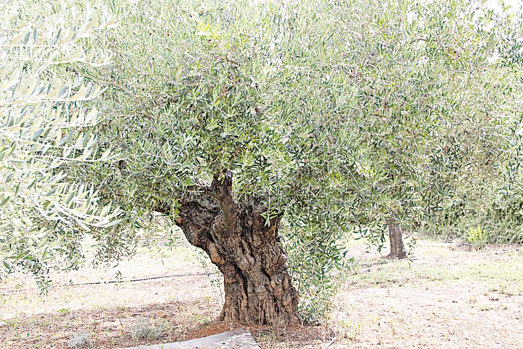 500年老橄欖樹,是意大利人眼中珍貴的橄欖油來源。