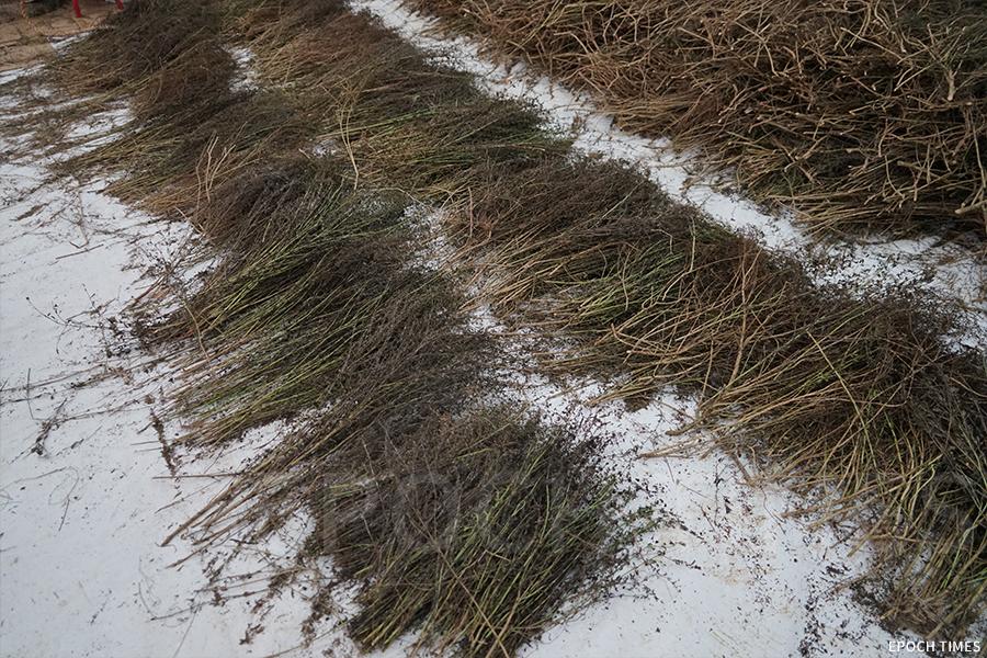 過去中秋火龍所用的珍珠草,可以在大坑周邊找到,現在的珍珠草都要從廣東預訂。(曾蓮/大紀元)