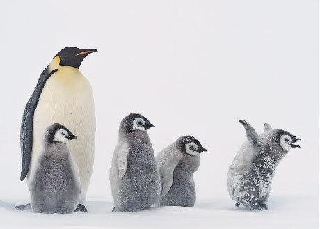 暴風雪中企鵝萌態
