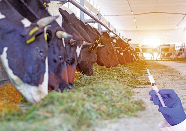 牛場大量使用抗生素 致超級細菌在人類爆發